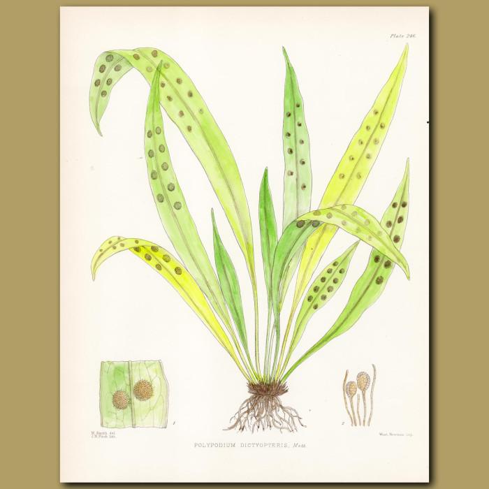 Lance Fern: Genuine antique print for sale.