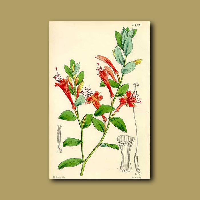 Antique print. Californian Zauschneria