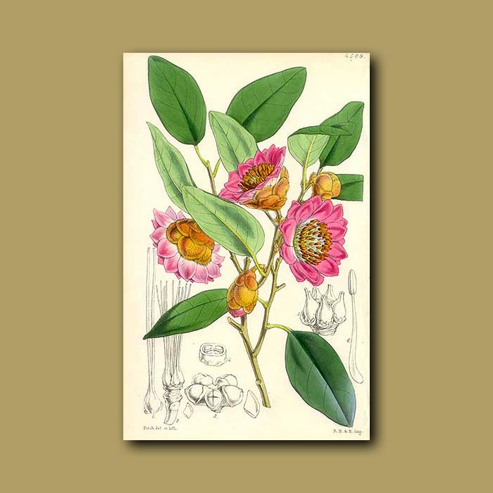 Antique print. Rhododendron