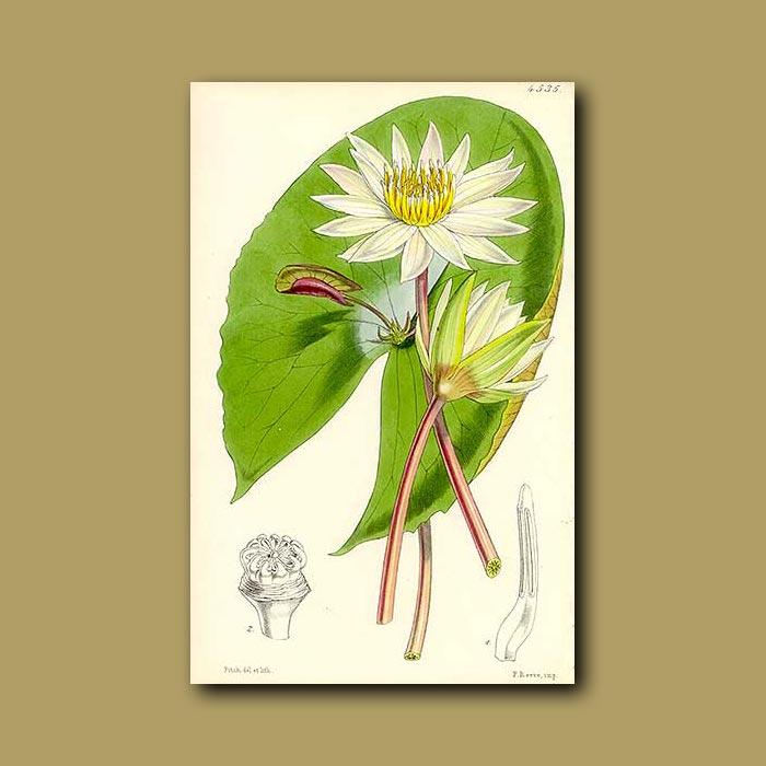 Antique print. Proliferous Water Lily