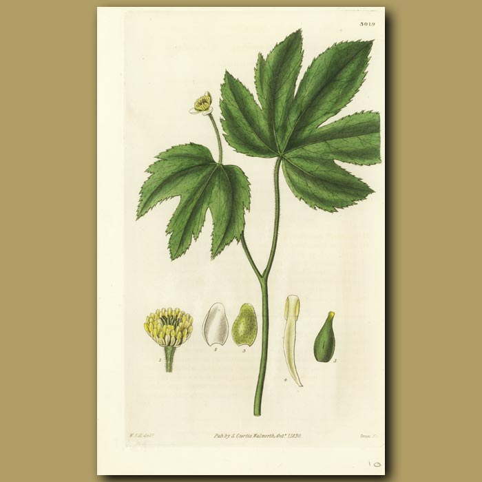 Antique print. Canadian Yellow-root
