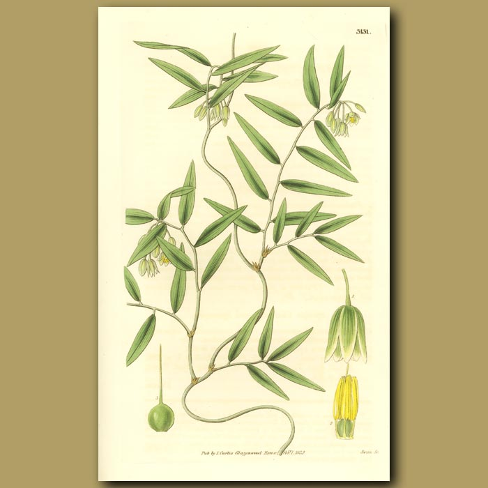 Antique print. Scrambling Lily