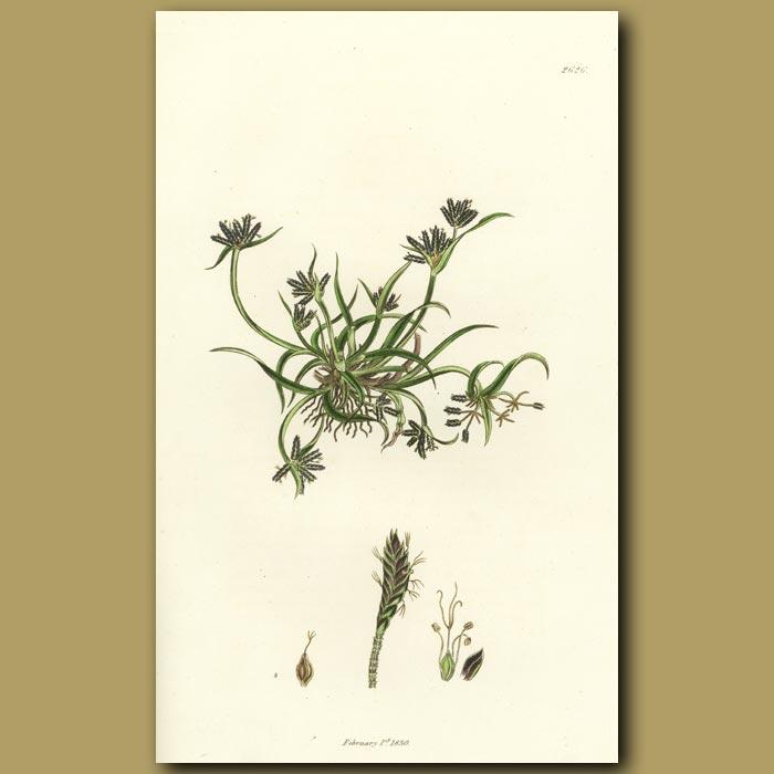 Antique print. Brown Cyperus