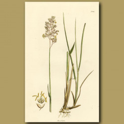 Northern Holy Grass
