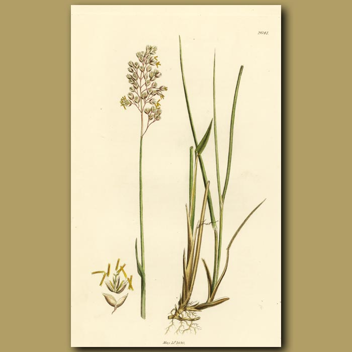Antique print. Northern Holy Grass