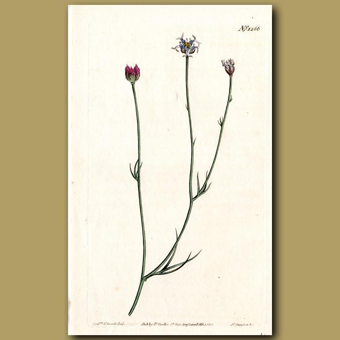 Antique print. Fennel-leaved Garidella