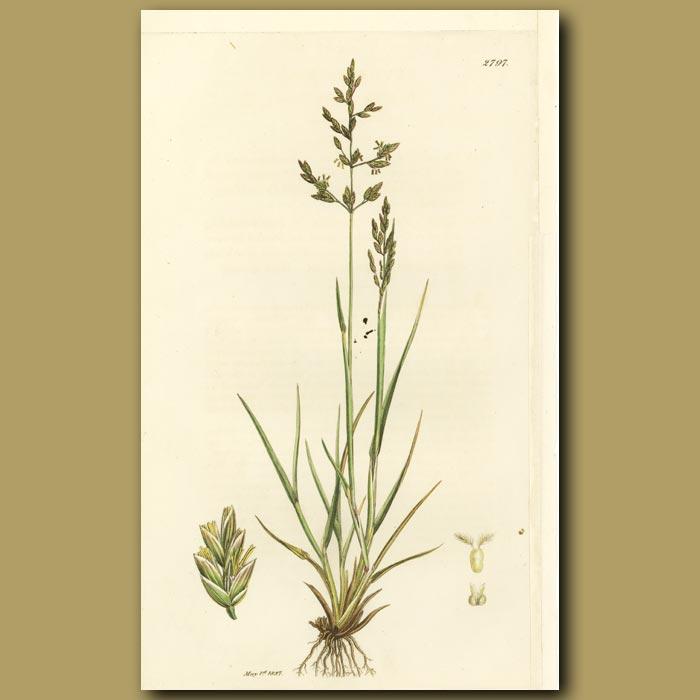 Antique print. Grass