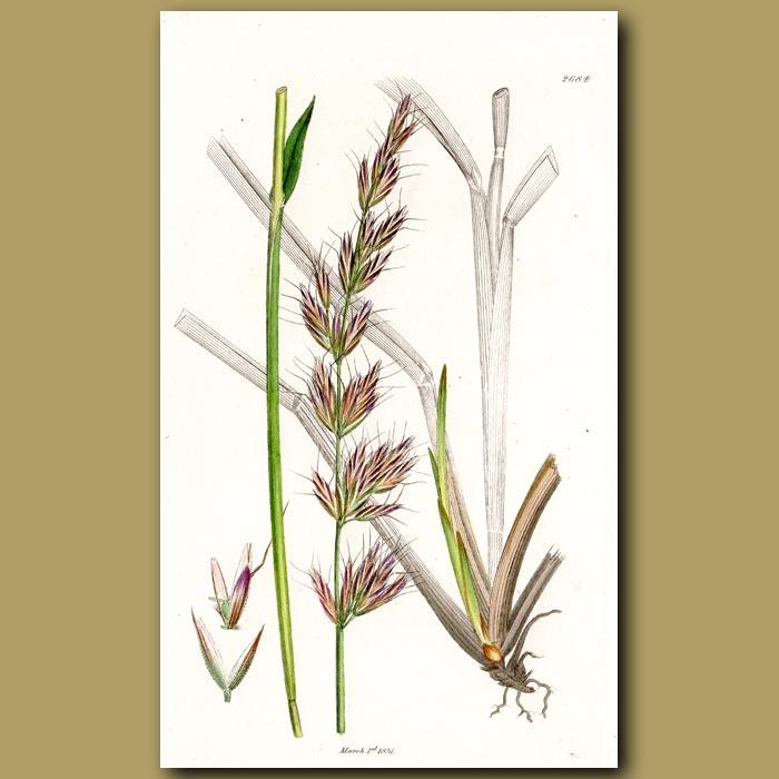 Antique print. Carex Grass