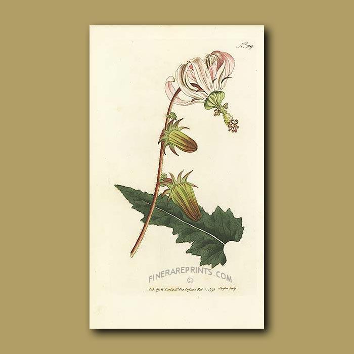 Antique print. Rough-leaved Michauxia