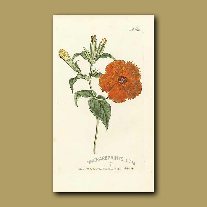 Antique print. Chinese Lychnis
