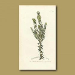 Heath Leaved Phylica
