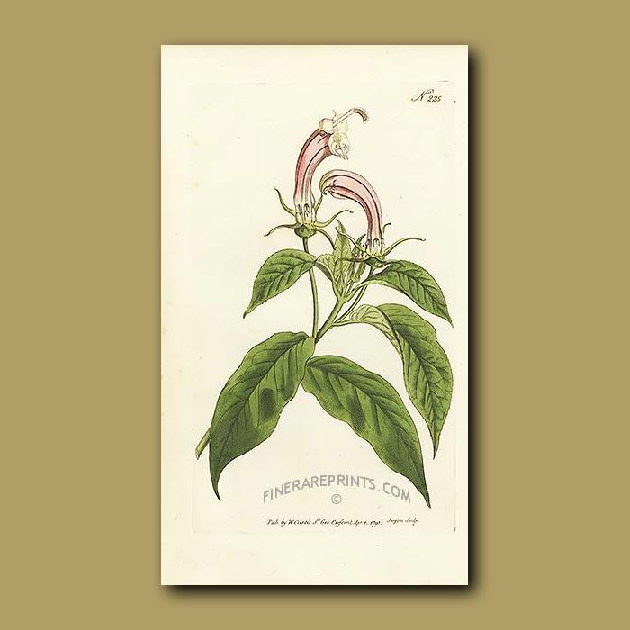 Antique print. Shrubby Lobelia