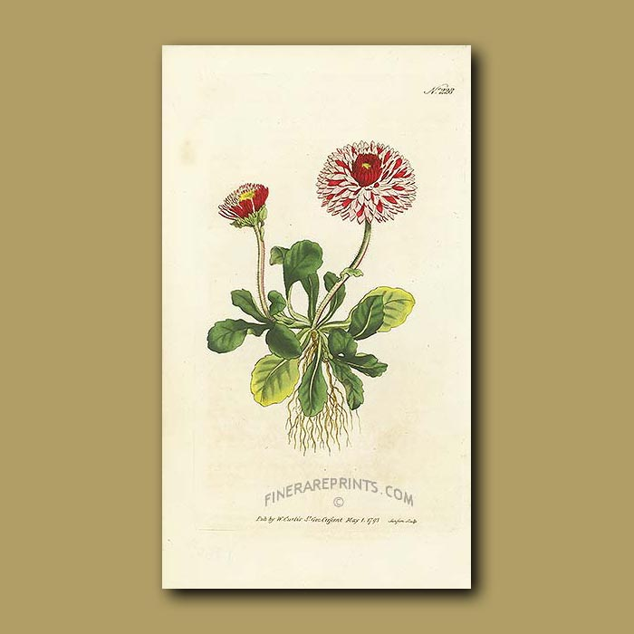 Antique print. Great Double Daisy