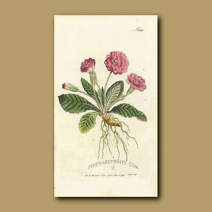 Antique print. Double Lilac Primrose