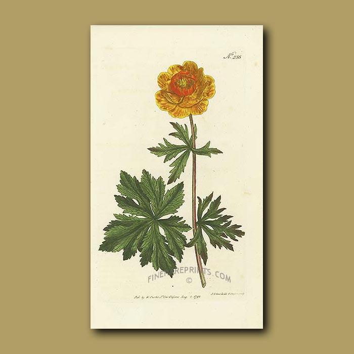 Antique print. Asiatic Globe Flower