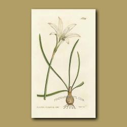 Atamsco Lily