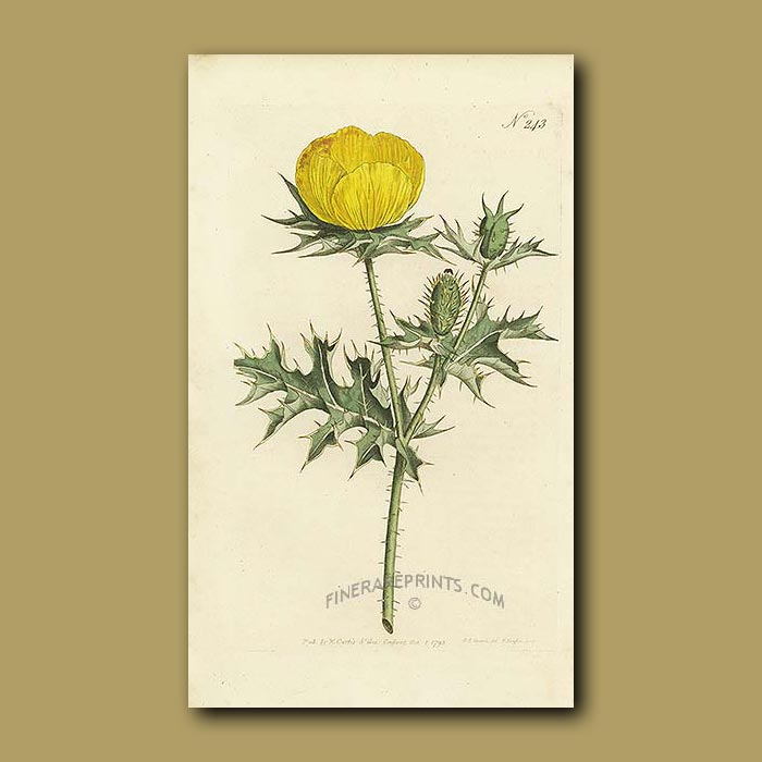 Antique print. Mexican Argemone or Prickly Poppy
