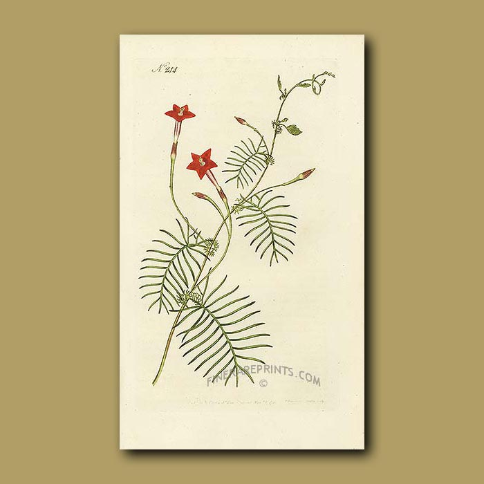 Antique print. Winged Leaved Ipomoea