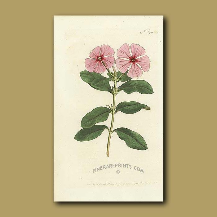 Antique print. Madagascar Periwinkle