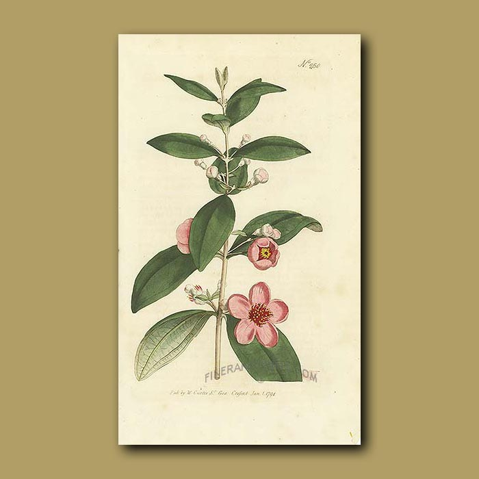 Antique print. Woolly-leaved Myrtle
