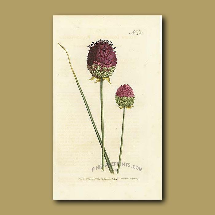 Antique print. Purple-headed Garlic