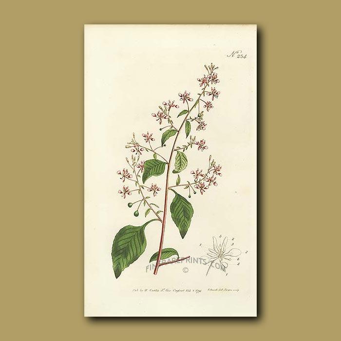 Antique print. Mexican Lopezia