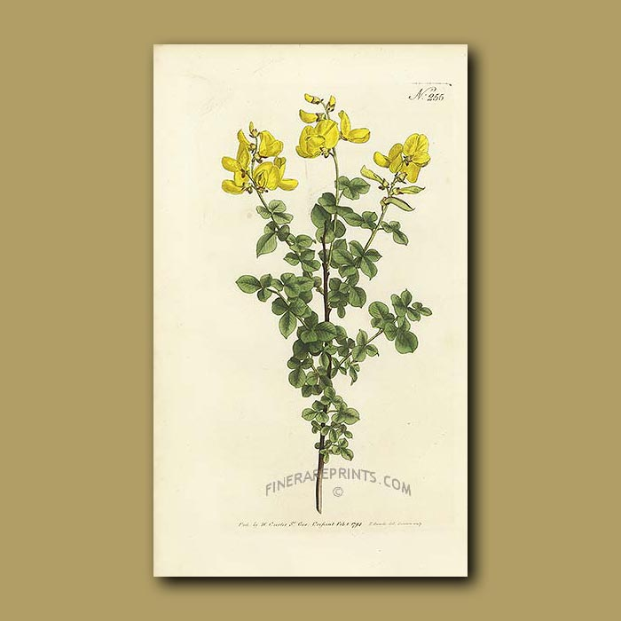 Antique print. Sessile-leaved or Common Cytisus