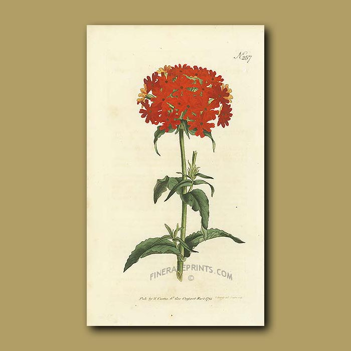 Antique print. Scarlet Lychnis