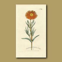 Golden Fig Marigold