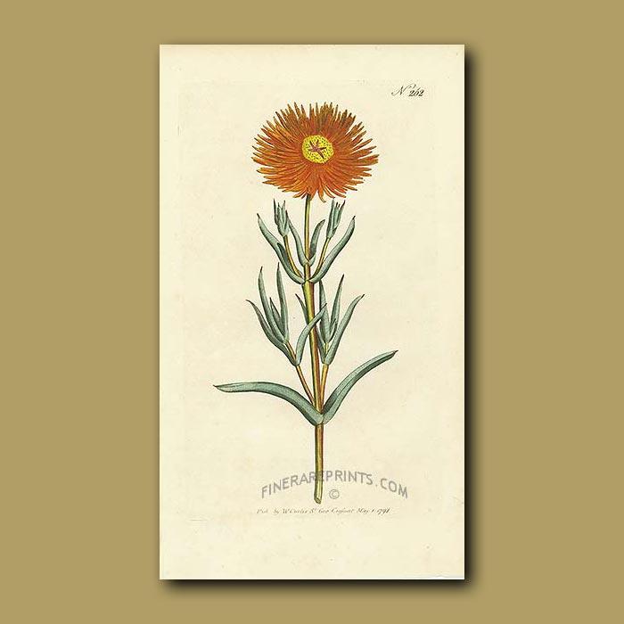 Antique print. Golden Fig Marigold