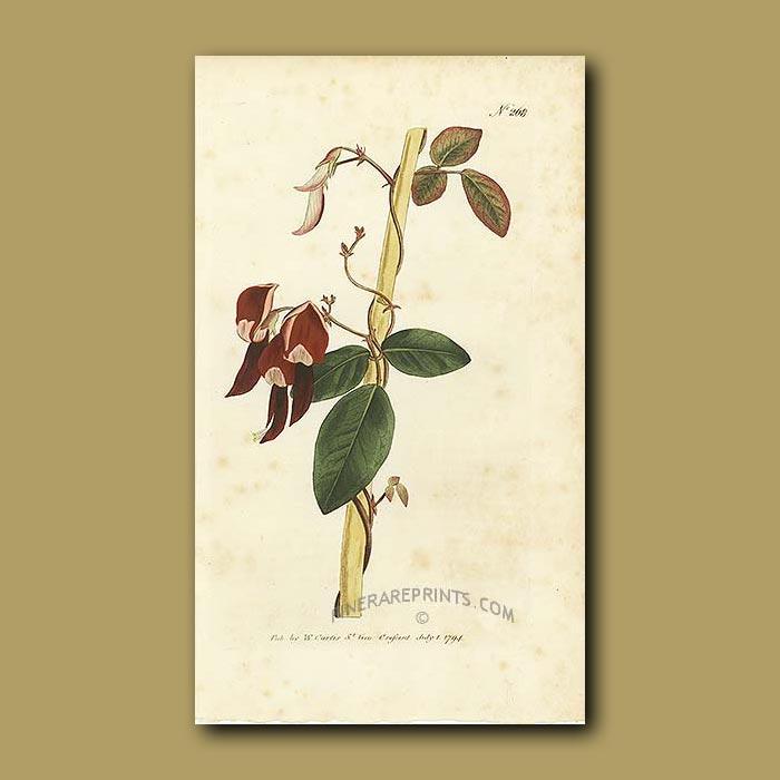 Antique print. Dingy-flowered Glycine