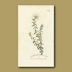 One-flowered Diosma