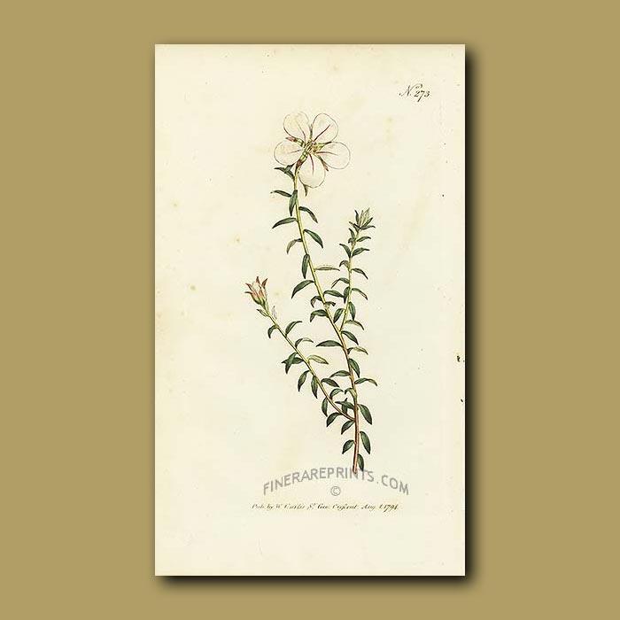 Antique print. One-flowered Diosma