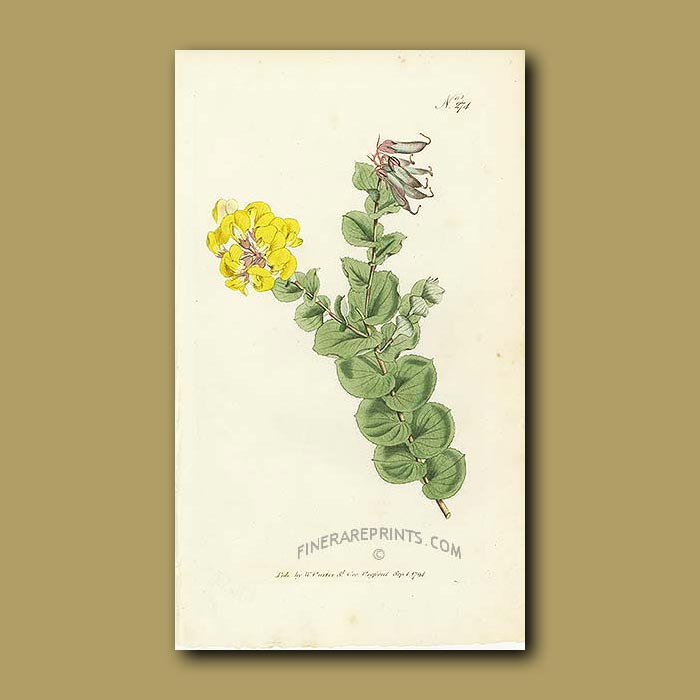Antique print. Heart-leaved Borbonia