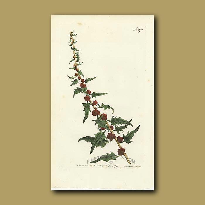 Antique print. Strawberry Blite