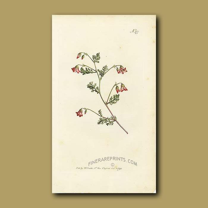 Antique print. Winged Mahernia