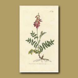 Creeping-rooted Hedysarum