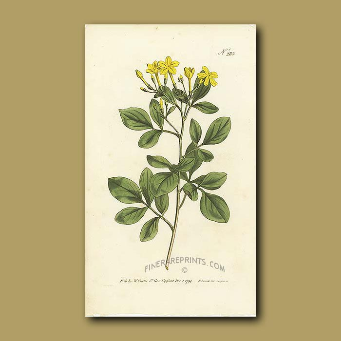 Antique print. Sweetest Jasmine
