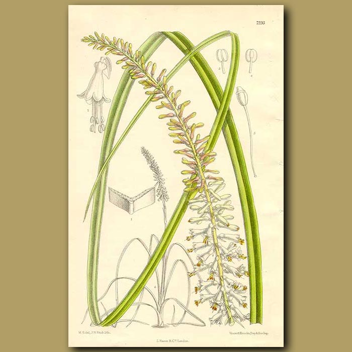 Antique print. Torch Flower