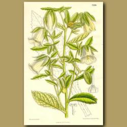 Symphyandra hofmanni
