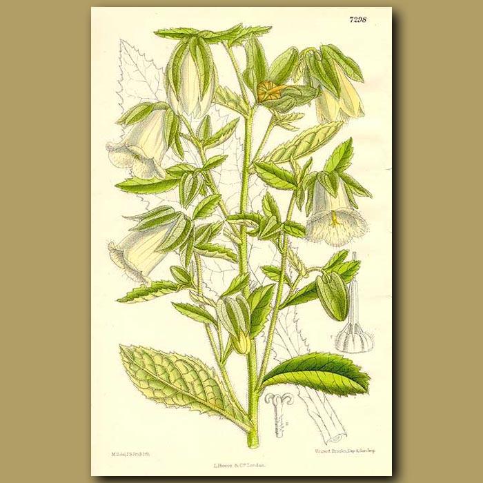 Antique print. Symphyandra hofmanni