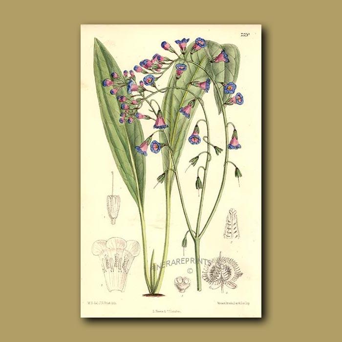 Antique print. Paracaryum Heliocarpum