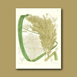Arrow Grass / Cane (Double sized fold out print)