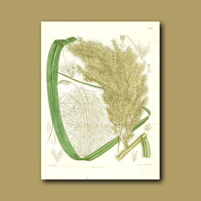 Antique print. Arrow Grass / Cane (Double sized fold out print)