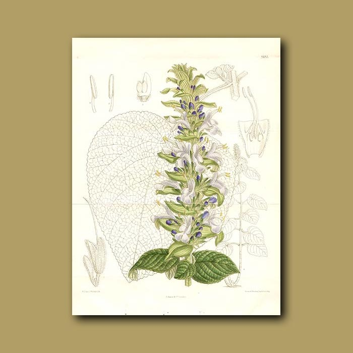 Antique print. Sage (Double sized fold out print)