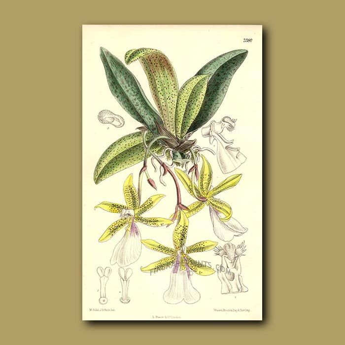 Antique print. Tiger-like Orchid