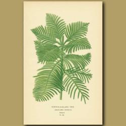 Norfolk Island Pine (Araucaria Excelsa)
