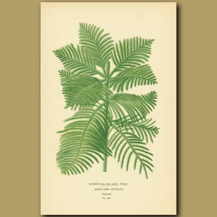 Antique print. Norfolk Island Pine (Araucaria Excelsa)