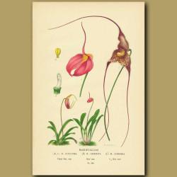 Masdavalla Orchids (Masdavallia Coccinea, Gemmata And Chimaera)