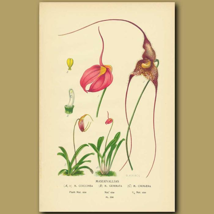 Antique print. Masdavalla Orchids (Masdavallia Coccinea, Gemmata And Chimaera)